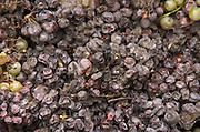 Hand picked noble rot grapes. Semillon. Chateau Nairac, Barsac, Sauternes, Bordeaux, France
