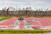 Cranberry harvesting operations at Gardner Cranberry LLC, in Gordon, Wisconsin