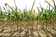 Nederland, the netherlands, Bredevoort, 28-8-2019Door de aanhoudende droogte hebben mens en natuur het moeilijk . Doordat regenval uitblijft worden de waterbuffers kleiner . De groei van mais in dit maisveld loopt achter , de plant vergeeld,verdord, en maakt geen kolven aan . Foto: Flip Franssen