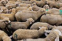 Herding sheep, Vale of Kashmir; Kashmir; Jammu and Kashmir State; India.