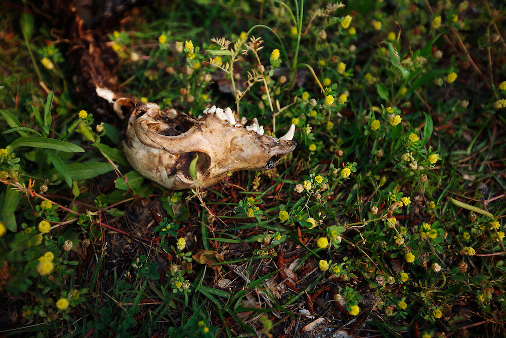 The skull of a dog lies in grass and flowers.