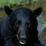 Black Bear (Ursus americanus).  A portrait of a  large male in a creek in late summer.