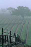 Morning fog over vineyard rows and oak tree in spring, Union Road, Paso Robles San Luis Obispo County, California