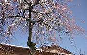 Japan, Tokyo Spring Cherry Tree Blossoming