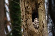 Barred Owl, Oella, Maryland