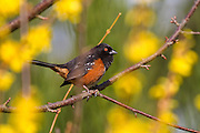 A spotted towhee (Pipilo maculatus) rests on a branch surrounded by bright yellow Scotch broom blossoms in Snohomish County, Washington. The spotted towhee is a type of sparrow and is most commonly found on the ground or searching shrubs for insects and fruit.