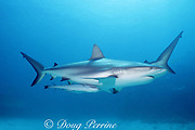 Caribbean reef shark, Carcharhinus perezi, with sharksucker, Echeneis naucrates, Walker's Cay, Abaco Islands, Bahamas ( Western Atlantic Ocean )