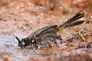 Pycnonotus xanthopygos, Yellow-vented Bulbul AKA White-Spectacled Bulbul, washing itself in a water puddle. Photographed in Israel