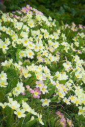 Primroses growing on a grassy bank outside the front gate at Manor Farm House in spring. Primula vulgaris