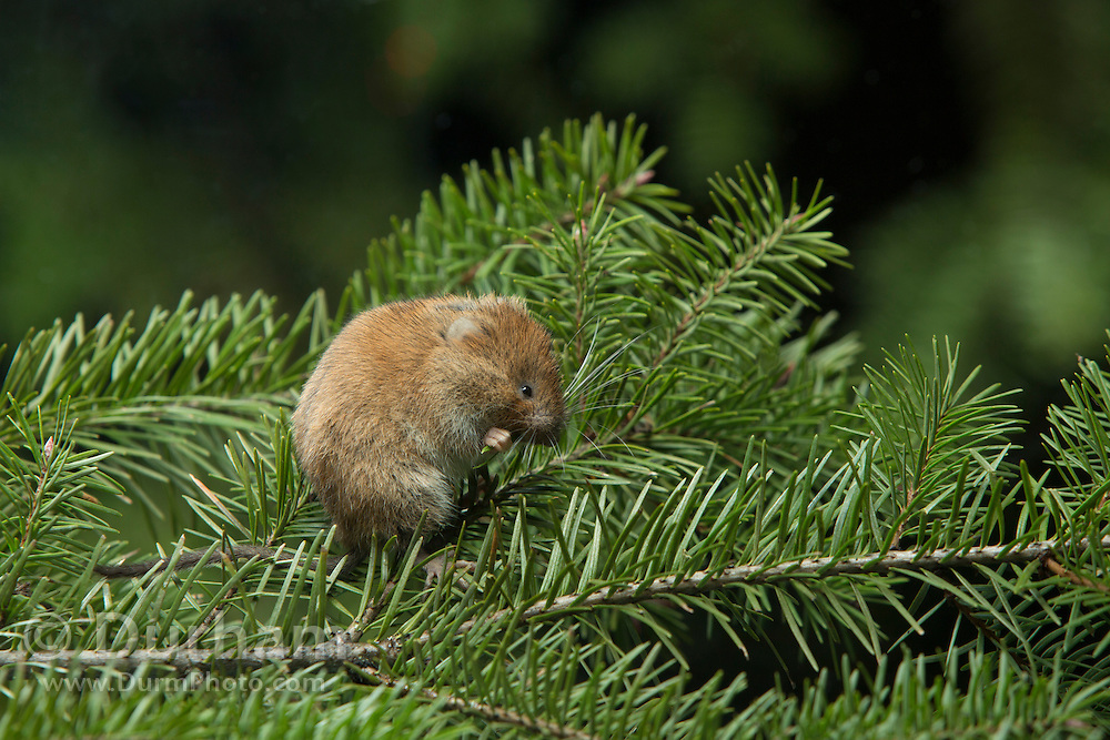 A male red tree vole (Arborimus longicaudus) eating a Douglas fir needle. Red tree voles are rarely seen. They are nocturnal and live in Douglas fir tree tops and almost never come to the forest floor.  They are one of the few animals that can persist on a diet of conifer needles which is their principle food.  As a defense mechanism, conifer trees have resin ducts in their needles that contain chemical compounds (terpenoids) that make them unpalatable to animals.  Tree voles, however, are able to strip away these resin ducts and eat the remaining portion of the conifer needle.
