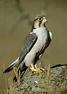 Lanner Falcon - Falco biarmicus