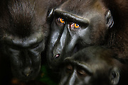 Three male Celebes Crested Macaques ( Macaca nigra ) huddle together for a close-up prior to an outbreak of an argument, Sulawesi, Indonesia