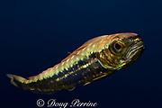 juvenile mahi-mahi, dorado, or dolphin fish, Coryphaena hippurus (c), about 10 cm (4 inches) long, Kona, Hawaii (dm)
