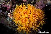 orange cup coral or tube coral, Tubastrea coccinea,  Galapagos Islands, Ecuador, ( Eastern Pacific Ocean )
