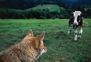 Wolf, Canis lupus, captive, Transsylvania, Romania