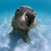 Cute young Australian sea lion sitting in the sand