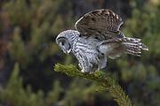 Great gray owl (Stix nebulosa)