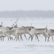 Barren Ground Caribou (Rangifer arcticus) in Wapusk National Park, Manitoba, Canada.