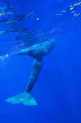 Pottwal Mutter mit Kalb, Physeter catodon, Physeter macrocephalus, sperm whale under water, Azoren, Portugal, Atlantik, Atlantischer Ozean, Azores, Portugal, Atlantic Ocean