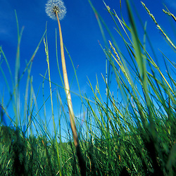 A dandelion puff in a hayfield on the Meserve Farm in Scarborough, Maine.  Spring.  Southern Maine.  Scarborough, ME.