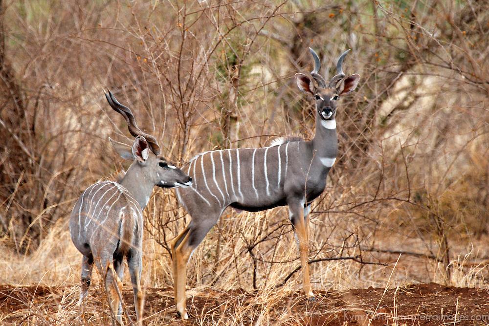 Africa, Kenya, Meru. Lesser Kudu pair of Meru National Park.