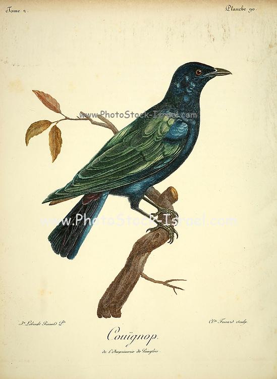 COUIGNIOP unidentified bird from the Book Histoire naturelle des oiseaux d'Afrique [Natural History of birds of Africa] Volume 2, by Le Vaillant, François, 1753-1824; Publish in Paris by Chez J.J. Fuchs, libraire 1799