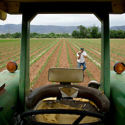 """Kevin Hauser removes a rock from his sweet cornfield in Camp Verde.  Hauser farms about 1,200 acres along the Verde, on parcels strung out from Camp Verde all the way to Chino Valley.  He relies heavily on the river, taking water from the Eureka Ditch, one of the oldest irrigation systems still operating.  He has followed the arguments about drilling wells along the Verde and about habitat.  """"A lot of people feel helpless about what to do,"""" he said. """"It doesn't matter if it's Prescott or a construction company pumping water ahead of you. You've always gotta be watching upstream."""""""