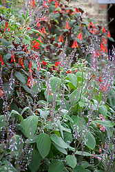 Fuchsia and plectranthus in the glasshouse at Parham House