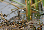 Pied-billed Grebe - Podilymbus podiceps - breeding adult
