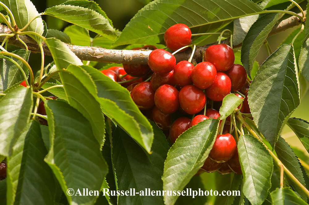 Cherries ripe on the tree and ready to pick