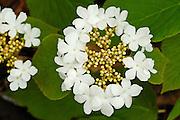 Flowers on hobblebush shrub<br /> Dorset<br /> Ontario<br /> Canada