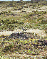 South American Snipe (Gallinago paraguaiae). Stanley, Falkland Islands. Image taken with a Leica T camera and 18-56 mm lens.