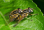 Close-up of a mating pair of Common tiger hoverflies (Helophilus pendulus) on a leaf  in a Norfolk woodland habitat in summer