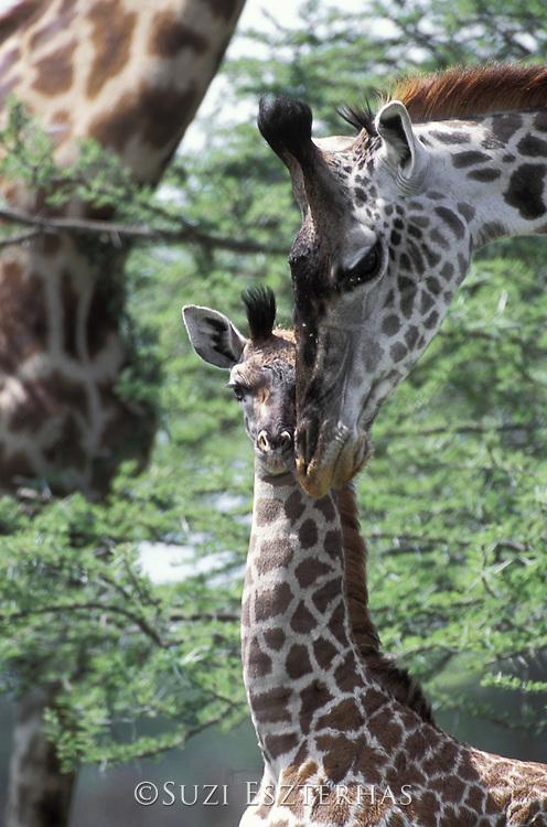 Giraffe<br /> Giraffa camelopardalis<br /> Mother nuzzling calf<br /> Ngorongoro Conservation Area, Tanzania