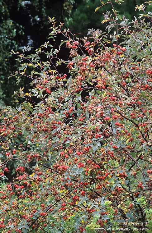 Rosa rubrifolia syn. R.glauca hips
