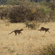 Cheetah family, mother with two older cubs begin chasing a baby grants gazelle in Samburu National Reserve, Kenya