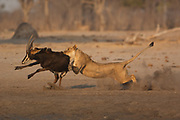 Lioness (Panthera leo) catching a sable that was drinking at the waterhole.<br />