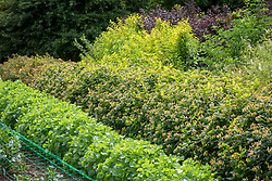 Foliage beds at Green and Gorgeous. Moluccella laevis - Bells of Ireland, Hypericum 'Magical Beauty' and 'Magical Red' and Physocarpus opulifolius 'Diabolo' and 'Dart's Gold'