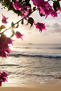 Pink bougainvillea flowers frame a sailboat on the Caribbean Sea at sunset in Barbados