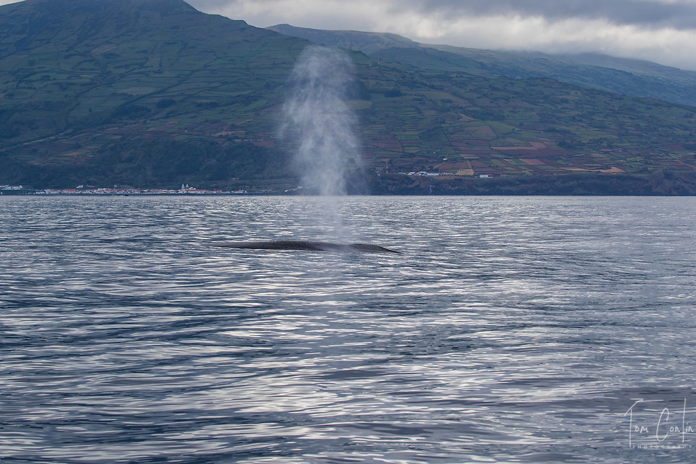 """blue whale ~ Balaenoptera musculus ~ blow ~<br /> Pico, Azores, Portugal ~ """"This work was performed under the authorization n.0 XX-ORAC-2018 issued by the Government, on February 22, 1018"""""""