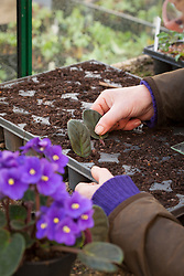 Taking leaf petiole cuttings from Saintpaulias (African Violet). Placing leaf cuttings in module tray