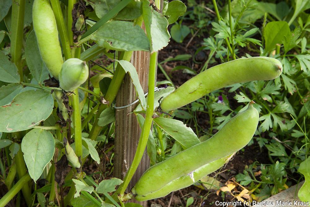 Fava beans growing in an organic garden.