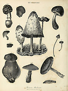 Various Poisonous Mushrooms Copperplate engraving From the Encyclopaedia Londinensis or, Universal dictionary of arts, sciences, and literature; Volume XVI;  Edited by Wilkes, John. Published in London in 1819
