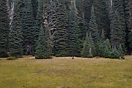 A Subalpine Fir (Abies lasiocarpa) forest encroaches on the edge of a meadow in the Indian Heaven Wilderness of the Gifford Pinchot National Forest in the Cascade Mountain Range of Washington state, USA.