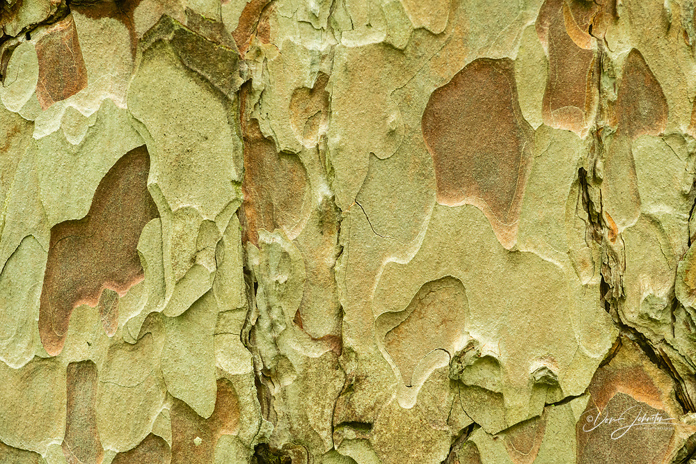 Red pine bark, Pinery Provincial Park, Grand Bend,, Ontario, Canada