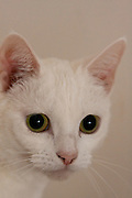 Portrait of a white cat, UK Saturday December 24th 2011