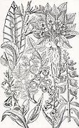 Mandrake (2) and Foxgloves (4,5,6).  Although poisonous, these plants have medicinal uses when properly prepared and prescribed.  Woodcut from 'Paradisi in Sole Paradisus Terrestris' by John Parkinson (London, 1629).