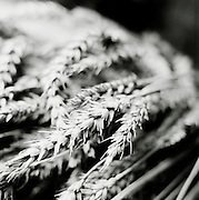 Wheat photographed in black and white, UK