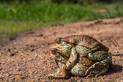 Red toad (Schismaderma Smith) in amplexis<br /> Marataba, A section of the Marakele National Park, Waterberg Biosphere Reserve<br /> Limpopo Province<br /> SOUTH AFRICA<br /> HABITAT & RANGE: Savanna & woodlands