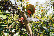 Worker uses power saw to trim an avocado tree in a plantation. Photographed in Israel in March
